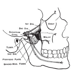 Facial nerves vintage vector