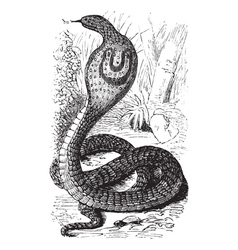 Indian Cobra vintage engraving vector image