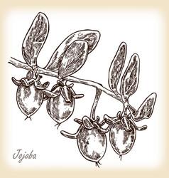 jojoba fruit hand drawn vector image