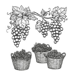 Grape branches and grapes in baskets vector