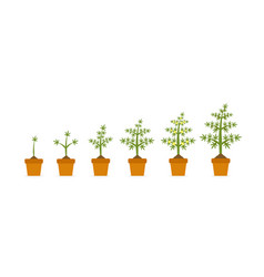 cannabis plant growth stages in ceramic pot hemp vector image