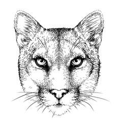 Cougar graphic portrait a mountain lion vector