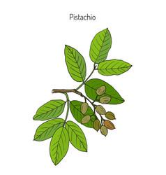 Pistachio pistacia vera vector
