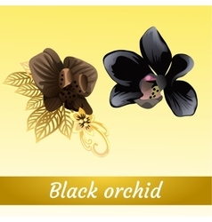 Couple of beautiful exotic black Orchid vector image