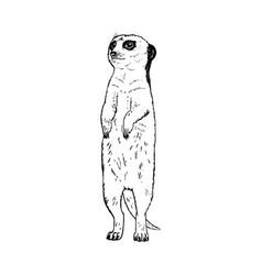 Hand drawn meerkat black white sketch vector
