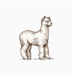 Wild llama hand drawing vector