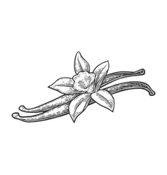 Vanilla pods and flower black vintage vector image