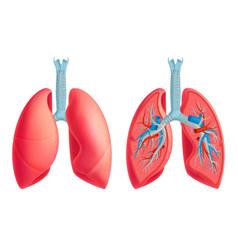 Human lung anatomy set vector