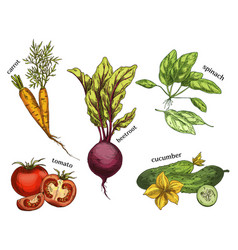 sketches for carrot and tomato cucumber beetroot vector image