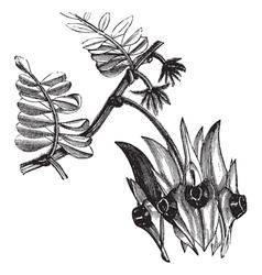 Swainsona formosa engraving vector image