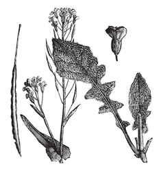 Field mustard vintage engraving vector