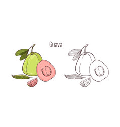 Drawing Pictures Of Guava