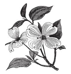 Flowering dogwood vintage engraving vector