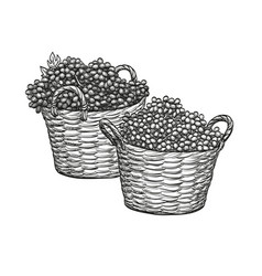 grapes in baskets vector image