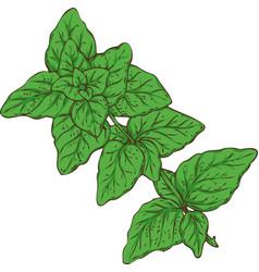 Fresh green oregano vector