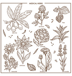 medical herbs and herbal medicine plants vector image