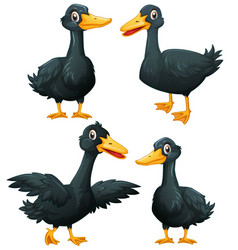 black ducks in four actions vector image