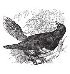 Common Cuckoo vintage engraving vector image vector image