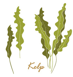 Seaweed kelp or laminaria green food algae vector