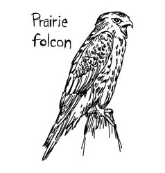 prairie falcon - sketch hand drawn vector image