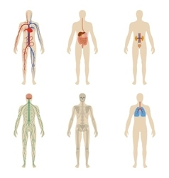 Set human organs and systems of the body vitality vector image vector image
