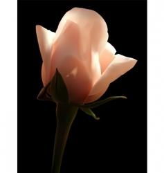 Rosa white vector