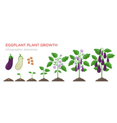 Eggplant growing process from seed to ripe vector