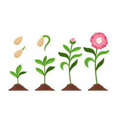 Pink flower growth process icons vector