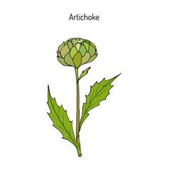 artichoke thistle hand drawn botanical vector image