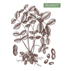 Peanut hand drawn plant with leaves roots vector