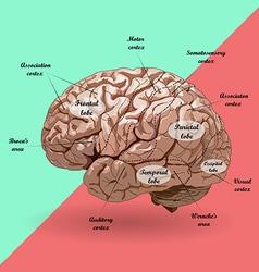 Realistic human brain scheme vector