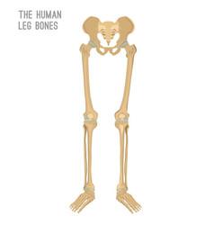 Human leg bones vector
