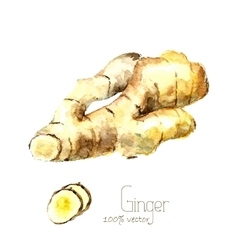 Watercolor ginger root vector image