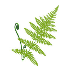 fern leaf isolated on the white vector image