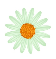 Green Daisy Flower on A White Background vector image