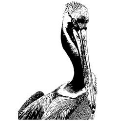 pelican close up vector image