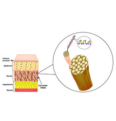 Collagen structure the structure of the skin vector