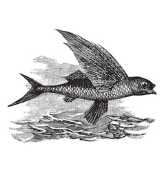 Flying Fish vintage engraving vector