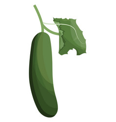 green cucumber with green leaf of vegetables on vector image