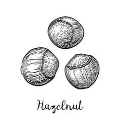 Ink sketch of hazelnut vector