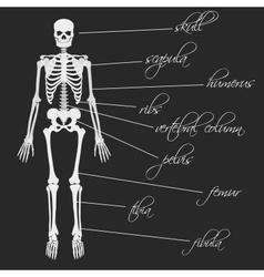 White human bones skeleton with description eps10 vector