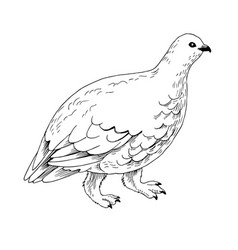 White-tailed ptarmigan in white winter plumage vector