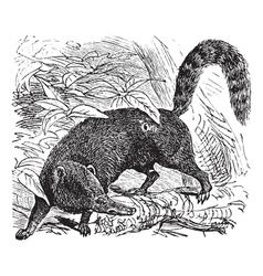 Coati Vintage engraving vector