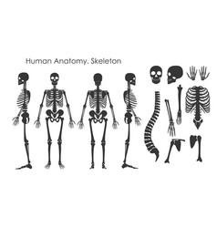 set human bones skeleton in vector image
