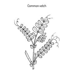 the vetch vicia sativa vector image vector image