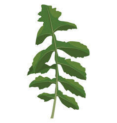 green ruccola leaf of vegetables on white vector image