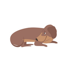 purebred brown dachshund dog lying on the floor vector image
