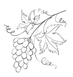 Bunch grapevine vector