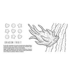 dragon fruitpitayapitahaya whole and sliced vector image
