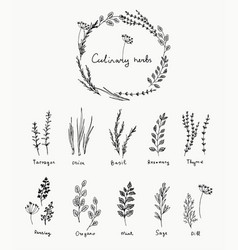 hand drawn set of culinary herb basil and mint vector image